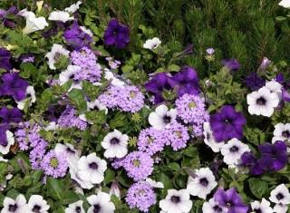 Poznaj 15 najpiękniejszych roślin o fioletowych kwiatach