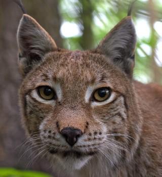 Co wiesz o dzikich zwierzętach żyjących w Polsce? QUIZ