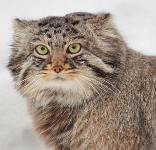 Ten kot to manul czy żbik? Czy potrafisz nazwać te zwierzęta?