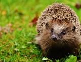 Ryś, miś i spółka. Co wiesz o dzikich zwierzętach żyjących w Polsce?