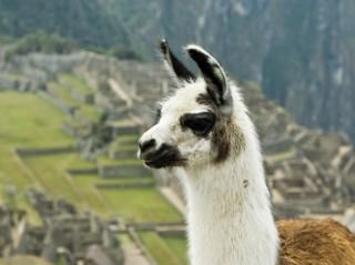 Lama czy alpaka? Jeleń czy łoś? Czy rozpoznasz zwierzę po fragmencie?