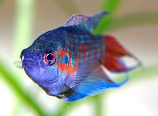 Te rybki akwariowe znają nawet laicy! Czy je rozpoznasz?