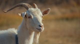 Znasz polskie przysłowia i powiedzenia? Gdzie przyszła koza?