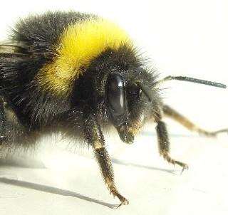 Trzmiel czy pszczoła? Czy odróżnisz od siebie te owady?