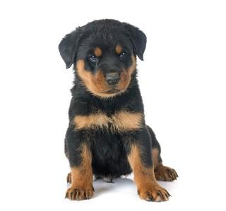 Jaki pies z wyrośnie z tego szczeniaka? Czy odgadniesz?